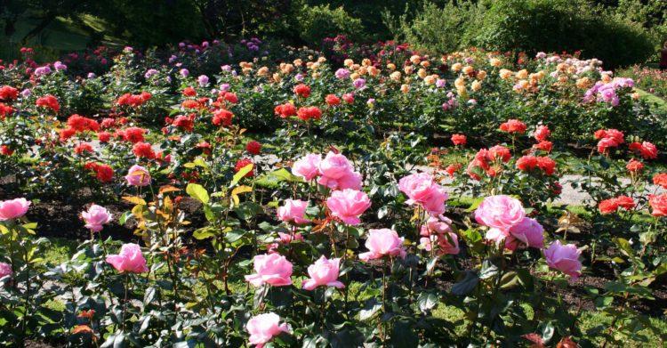 Baroniet Rosendal Hardangerfjorden rosehage med et vell av roser